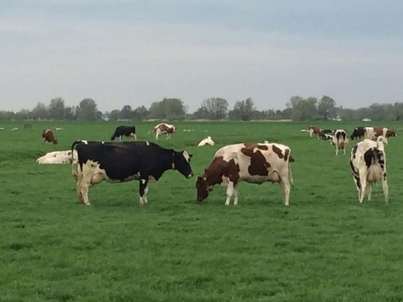 BGO koeien