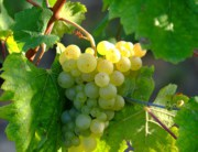 Witte druiven 2