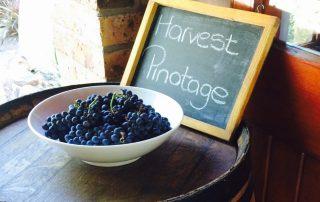 Pinotage Harvest op wijnton (1)