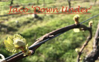 Chardonnay uitloop voor uitgelicht